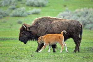 Experience Yellowstone Guided Tours