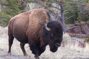 Tour Yellowstone - Explore Cody - Great for Kids!